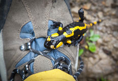 Fire Salamander on hiking boots Royalty Free Stock Photo