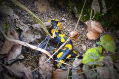 Fire Salamander lizard black and yellow royalty free stock photography