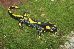 Fire salamander Stock Image