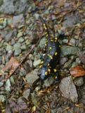 Fire salamander at National Park Biogradska Gora, Montenegro Stock Photos