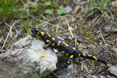 Fire salamander in nature Royalty Free Stock Photos