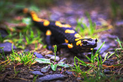 Fire salamander, poisonous animal Royalty Free Stock Photo