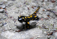 Fire salamander. Posing in Gorce mountains Royalty Free Stock Photos