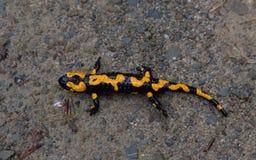 Fire Salamander in rain closeup Stock Photo