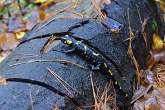 Fire salamander resting on the porch royalty free stock photo