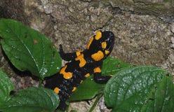 Fire Salamander on Rock Stock Photo