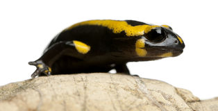 Fire salamander on rock, Salamandra salamandra Stock Image