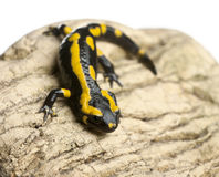 Fire salamander on rock, Salamandra salamandra Royalty Free Stock Photography