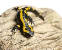 Fire salamander on rock, Salamandra salamandra royalty free stock photography
