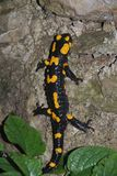 Fire Salamander on Rock Stock Photography