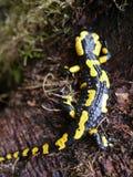 Fire salamander  (Salamandra salamandra ) at Bayern. Fire salamander salamandra bayern animal reptile forest rareanimal nature wildanimal europa stock photos