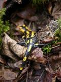 Fire salamander  & x28;Salamandra salamandra & x29; at Bayern. Fire salamander salamandra bayern animal reptile forest rareanimal nature wildanimal europa royalty free stock photos