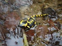 Fire salamander  & x28;Salamandra salamandra & x29; at Bayern. Fire salamander salamandra bayern animal reptile forest rareanimal nature wildanimal europa royalty free stock photo