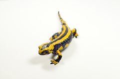 Fire salamander, Salamandra Royalty Free Stock Images