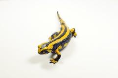 Fire salamander, Salamandra Royalty Free Stock Images