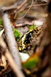 Fire salamander salamandra closeup forest outdoor Royalty Free Stock Images