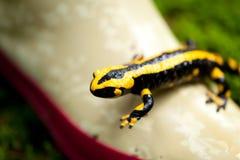 Fire salamander salamandra closeup forest outdoor Stock Photos