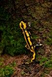 Fire salamander salamandra closeup forest outdoor Royalty Free Stock Photography