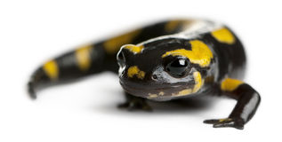 Fire salamander, Salamandra salamandra Stock Photo
