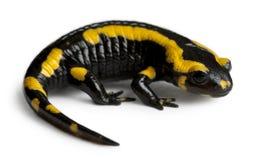 Fire salamander, Salamandra salamandra Royalty Free Stock Image