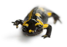 Fire salamander, Salamandra salamandra Royalty Free Stock Photos