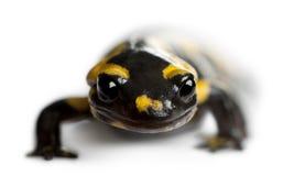 Fire salamander, Salamandra salamandra Stock Photography