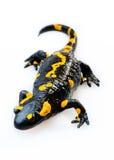 Fire Salamander(Salamandra salamandra) Royalty Free Stock Images