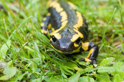 Fire salamander Royalty Free Stock Photo