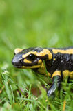 Fire salamander Stock Photo