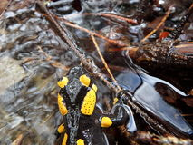 Fire salamander Royalty Free Stock Photos