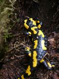 Fire salamander  & x28;Salamandra salamandra & x29; at Bayern. Fire salamander salamandra bayern animal reptile forest rareanimal nature wildanimal europa royalty free stock photography