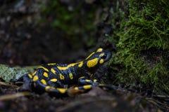 Fire Salamander - Salamandra salamandra royalty free stock images