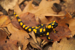 Fire salamander Stock Images