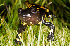 Fire salamander (Salamandra salamandra) in a mountains of Madrid, Spain Royalty Free Stock Photos