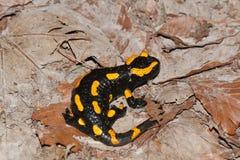 Fire salamander Royalty Free Stock Image