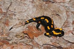 Fire salamander Royalty Free Stock Photos