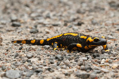 Fire salamander Royalty Free Stock Photo
