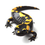 Fire salamander (Salamandra salamandra) on white Royalty Free Stock Photo