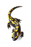 Fire salamander (Salamandra salamandra) on white Royalty Free Stock Images