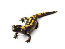Fire salamander (Salamandra salamandra) on white stock photography