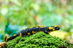 Fire salamander, stained Royalty Free Stock Photography