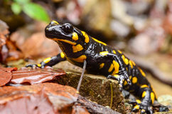 Fire salamander. Standing on the wet stone and autumn leaves, with photographer's reflection in the eye Stock Photography