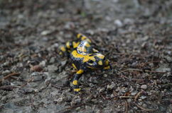 Fire Salamander on the trail in the forest Royalty Free Stock Images
