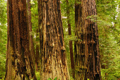 Fire scarred trees in California Royalty Free Stock Photos