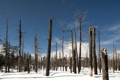 Fire-scarred trees in Yellowstone Royalty Free Stock Image