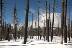 Fire-scarred trees in Yellowstone Stock Photos