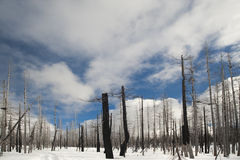 Fire-scarred trees in Yellowstone Royalty Free Stock Photography