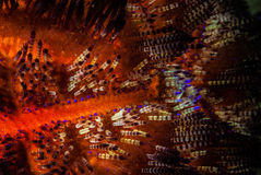 Fire sea urchin in Ambon, Maluku, Indonesia underwater photo Stock Photo