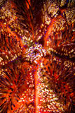 Fire sea urchin in Ambon, Maluku, Indonesia underwater photo Stock Image