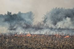 Fire set on corn field.Burning corn field after the harvest stock image